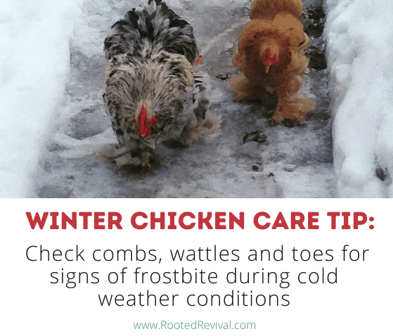 Two chickens walking in snow. Text reads: Check combs, wattles and toes for signs of frostbite during cold weather conditions