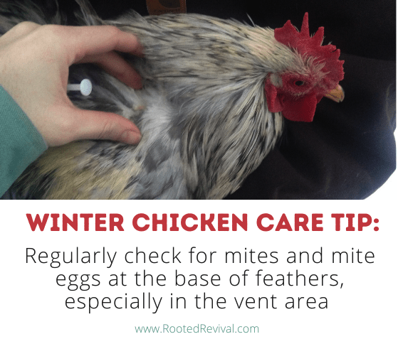 Hand pulling back feathers on a chicken. Text reads: Regularly check for mites and mite eggs at the base of feathers, especially in the vent area