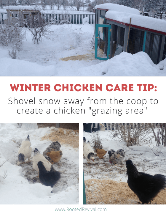 3 pictures showing snow shoveled away from chicken coop and chickens pecking the grass