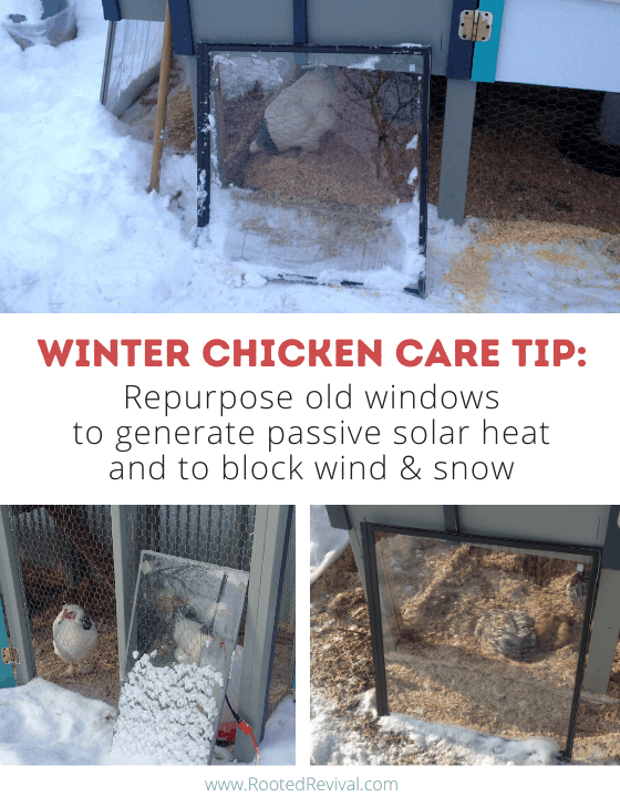 3 pictures showing glass windows leaning against a chicken run and chickens inside the run
