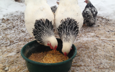 How to Care for Chickens in Winter: Nutrition & Feeding Tips