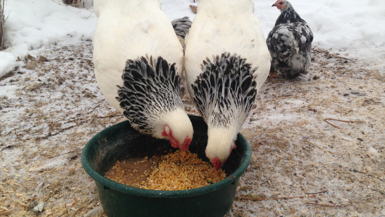 During the winter, chicken nutrition is important! These 5 easy tips will help ensure your chickens stay nourished and happy this winter!