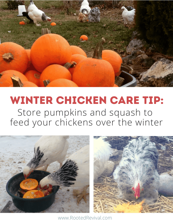 2 pictures of chickens eating pumpkins. Text reads: Store pumpkins and squash to feed your chickens over the winter
