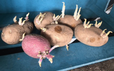 How to Grow Store Bought Potatoes