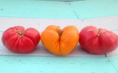 How to Ripen Tomatoes Faster on the Vine