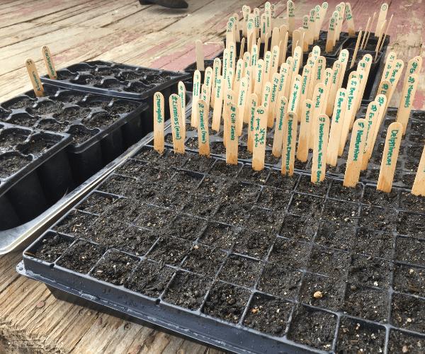 Cellular trays of seeds full of soil.
