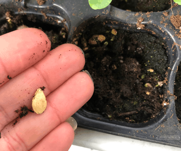 Seed resting on fingertips positioned above a soil-filled seed tray