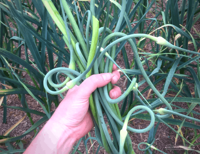 Hand holding a bunch of garlic scapes