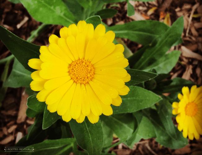 One bright yellow calendula blossom