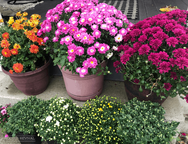 6 pots of mums set on concrete steps. The top row has 3 large mums in full bloom. The lower set has 4 smaller mums with lots of unopened buds.