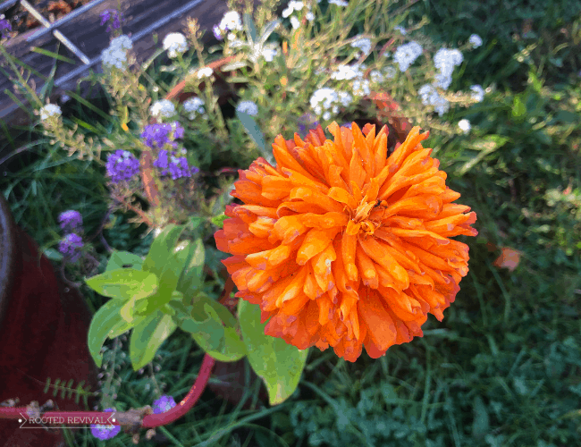 A bright orange zinnia blossom with a backdrop of purple and white alyssum